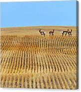 Prairie Pronghorns Canvas Print