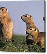 Prarie Dog Family Canvas Print