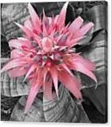 Pretty Bromeliad Canvas Print