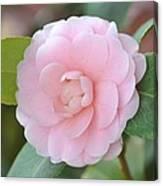Pretty Camellia Canvas Print