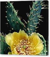 Prickly Pear Cactus Flower Canvas Print