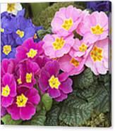Primrose Primula Sp Flowers Canvas Print