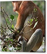 Proboscis Monkey Nasalis Larvatus Male Canvas Print