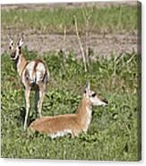 Pronghorn Antelope With Young Canvas Print