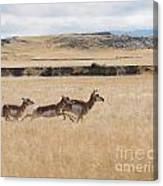 Pronghorn Antelopes On The Run Canvas Print