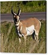 Pronghorn Male Custer State Park Black Hills South Dakota -2 Canvas Print