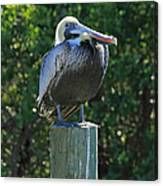Proud Pelican Of Pine Island Canvas Print