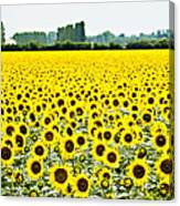 Provencial Sunflowers Canvas Print