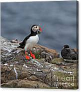 Puffin With Sand Eels Canvas Print