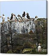 Puffins On A Cliff Edge Canvas Print
