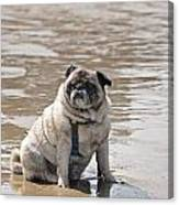 Pug Can't Be Budged Canvas Print