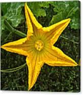 Pumpkin Flower 1 Canvas Print