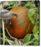 Pumpkin On The Vine Canvas Print