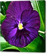 Pure Purple Canvas Print