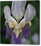 Purple And White Iris 2 Canvas Print