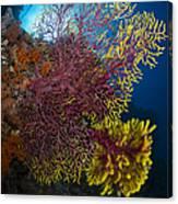 Purple And Yellow Sea Fan In Raja Canvas Print