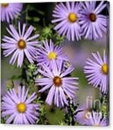 Purple Asters Canvas Print