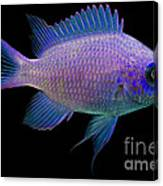 Purple Chromis Canvas Print