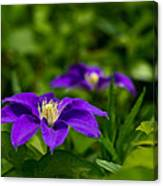Purple Clematis Flower Canvas Print