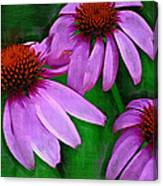 Purple Coneflower Trio Canvas Print
