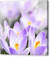 Purple Crocus Blossoms Canvas Print