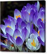 Purple Crocus Cluster Spring Choir Canvas Print