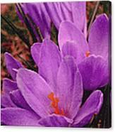 Purple Crocus With A Texture Canvas Print