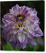Purple Dahlia 3 Canvas Print