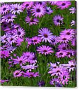 Purple Daisies Square Canvas Print