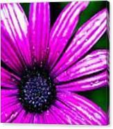 Purple Dew Canvas Print