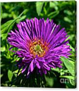 Purple Dome New England Aster Canvas Print
