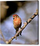 Purple House Finch Canvas Print
