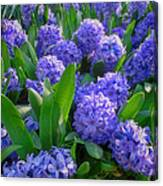 Purple Hyacinths Canvas Print