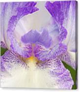 Purple Iris Bliss Canvas Print