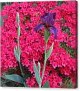 Purple Iris In Pink  Canvas Print