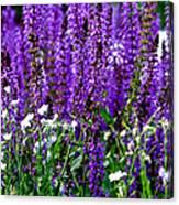 Purple Lavender Flower In Bloom  Canvas Print