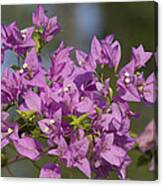 Purple Of The Bougainvillea Blossoms Canvas Print