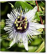 Purple Passionflower Canvas Print