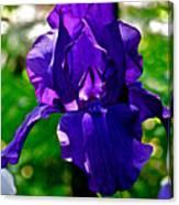 Purple Pink Iris  Canvas Print