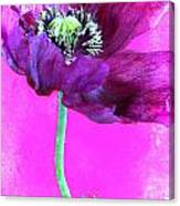 Purple Poppy On Pink Canvas Print