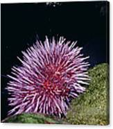 Purple Sea Urchin Feeding California Canvas Print