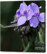 Purple Spiderwort Flowers Canvas Print