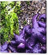 Purple Stars Canvas Print