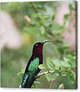 Purple-throated Carib Eulampis Canvas Print
