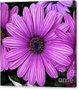 Purple Trio Canvas Print
