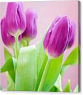 Purple Tulips Canvas Print