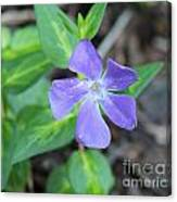 Purple Vinca Canvas Print