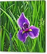 Purple Water Iris Canvas Print