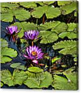 Purple Water Lilies - Nymphaea Capensis  Canvas Print