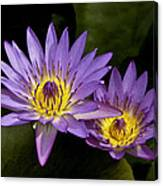 Purple Water Lilies Canvas Print